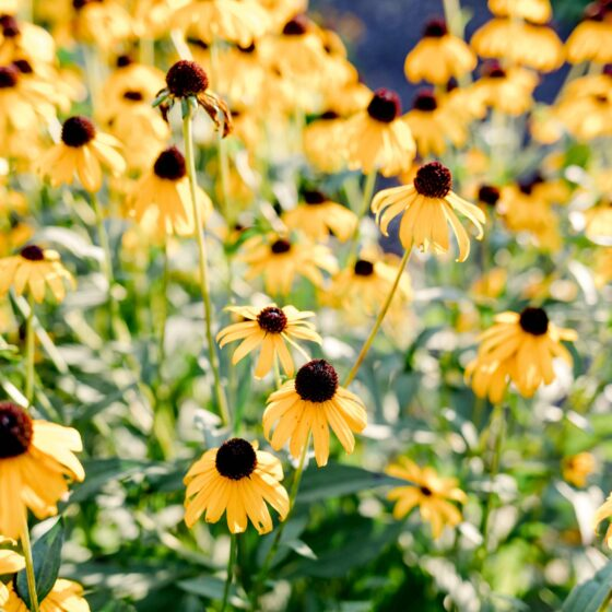 A group of yellow flowers with a protruding brown center.