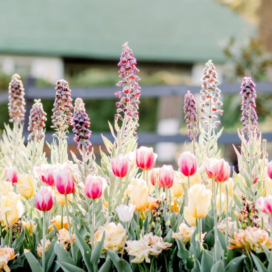 An image of pink tulips in bloom.
