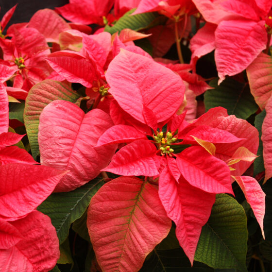 A collection of vibrant, red poinsettias.
